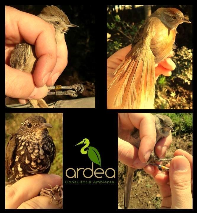 Anilhamento da avifauna em Parques Eólicos